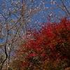 紅葉と桜『小原の四季桜』(その3)遊歩道から前洞の桜へ ― 紅葉《#14》 ―