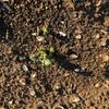 市民菜園で野菜づくりに挑戦!28 〜真・じゃがいもの芽