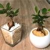 【観葉植物が与える心理的効果】部屋に置くことで出来るセルフエンハンス