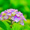 紫陽花撮影②