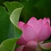 ☔雨の不忍池 蓮の花