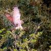 畑の立ち木に降下して獲物を狙うサシバ