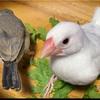 文鳥さんに春菊(菊菜)をあげてみました