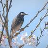 桜の国のムクドリ