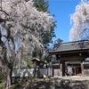 境内の入り口に樹齢約300年のシダレザクラ!長野市「光林寺」の桜