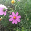 コスモスの花言葉は「乙女の純潔」