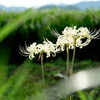 lycoris radiata #white