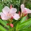 薄桃色のキョウチクトウ咲く