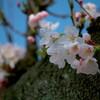 2018福井に桜開花宣言出る