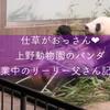 【上野動物園】仕草がおっさんなリーリー残業中の様子♥