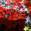 鮮やかな紅葉?