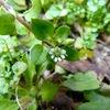 春の七草 ハコベ