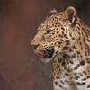 ヒョウ Panthera pardus