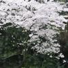2017.4.27 桜 さくら