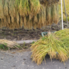 ひとつ目の不耕起田んぼの稲刈りをしました。時間かかりそう…