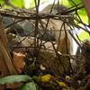 雉鳩の巣、雛は孵っている