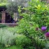 ザンビーニ兄弟の畑に今年もアーティチョークの花が咲きました