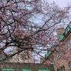 最近、ケンブリッジでよく見かける桜?