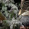 無量寺へ夜桜撮影に行く