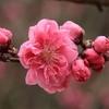 ~笑顔もほころぶ桃の花。まわるまわる花時計。~ 七十二候 第八候:桃始笑(ももはじめてさく)【啓蟄・次候】