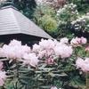 岡寺のシャクナゲ(4月下旬~5月下旬)