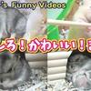 【ハムスター 動画】おもしろかわいいまとめ動画! Funny and cute video of hamster!