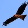 稲敷市上空を飛ぶトビ