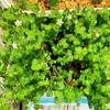 🌵多肉植物   リトルフロッジーの白いお花🌼他🌵
