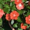 3-150   愛すべき花たち〜蜜柑色の日々草〜