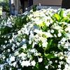 江ノ電 阿佛邸旧跡石碑脇の紫陽花