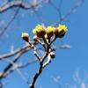 サンシュユの花。