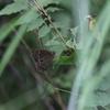 7/3・北摂のクロヒカゲモドキ 〜 湿度の高い暗がりを汗だくになって追いかけました