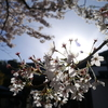3日間、朝の寺で一人で坐禅して感じた『桜の花びらみたいな人生たち』
