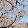 桜、新生活の季節