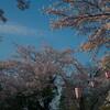 福井市足羽山公園の桜で花見