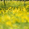 キンポウゲの花畑のタケノコ