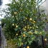 そろそろ収穫しようかユーレカレモン