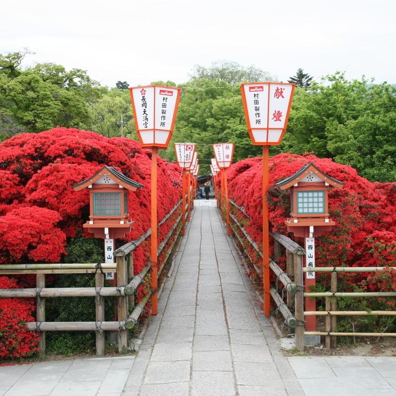 【絶景】京都随一のキリシマツツジ、燃え上がるような深紅に染まった長岡天満宮へ