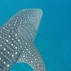 世界一周170日目 モルディブ(51) 〜ジンベエザメと泳げる海〜