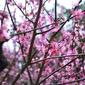 桃の節句に梅鑑賞