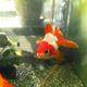 真っ赤な金魚