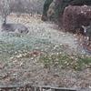 鹿に庭を占拠される