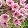 サクラランの花、育て方など【ホヤ・カルノーサ】