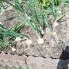 畳8畳の菜園をフル稼働して夏野菜の準備する