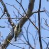 シジュウカラの幼鳥の狩り