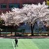 ソウルも桜が咲き、散りました。