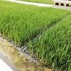 稲の苗作りはビニールハウス栽培でも低温発芽のプール育苗がオススメ!
