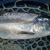 ビワマス は、琵琶湖の固有種。ひでさんの、琵琶鱒・レイクトローリング