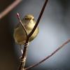 鶯(ウグイス)