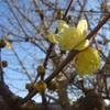 【ロウバイ】蝋(ろう)をまとった梅に見えるので「ロウバイ」